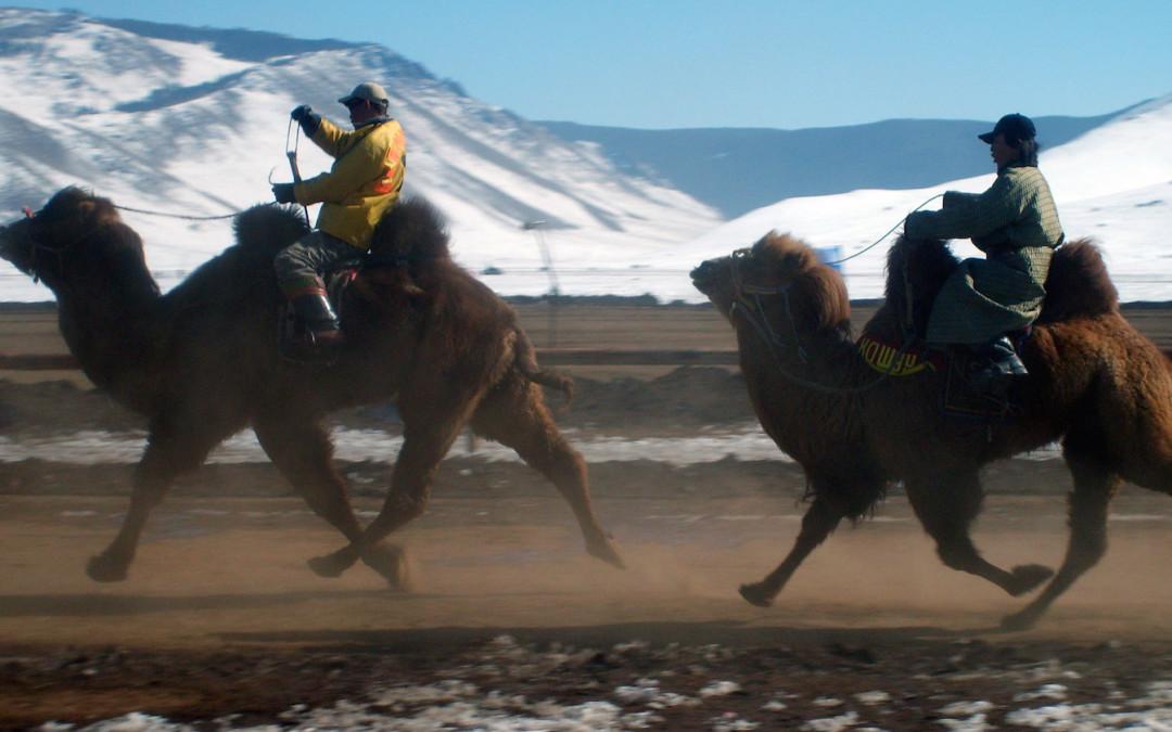 Kamelrennen auf der Autobahn